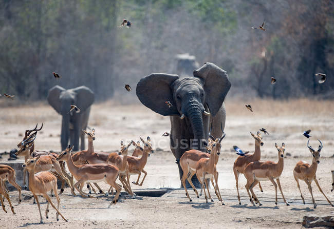 Scenic view of Elephants running towards a herd of impala, South Africa — Stock Photo