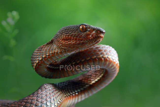 Портрет мангровой змеи, селективный фокус — стоковое фото