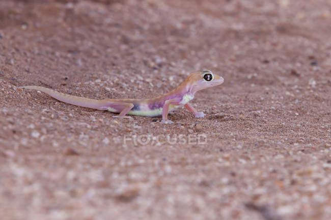 Namib sand gecko, closeup view, selective focus — Stock Photo