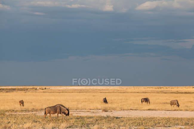Scenic view of wildebeest, Etosha National Park, Namibia — Stock Photo