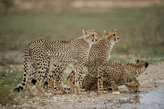 Vista panorámica de Cuatro guepardos de pie junto a un pozo de agua, Sudáfrica - foto de stock