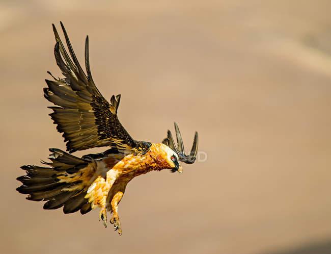 Bearded Vulture in flight, blurred background — Foto stock
