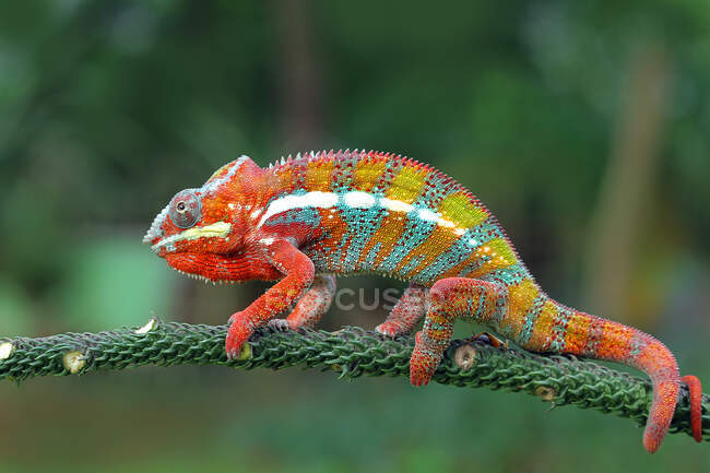 Close-up shot of beautiful colorful chameleon on natural background — Stock Photo