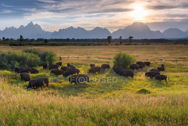 Vue panoramique du troupeau de bisons, parc national Grand Teton, Moran, Wyoming, Amérique, États-Unis — Photo de stock