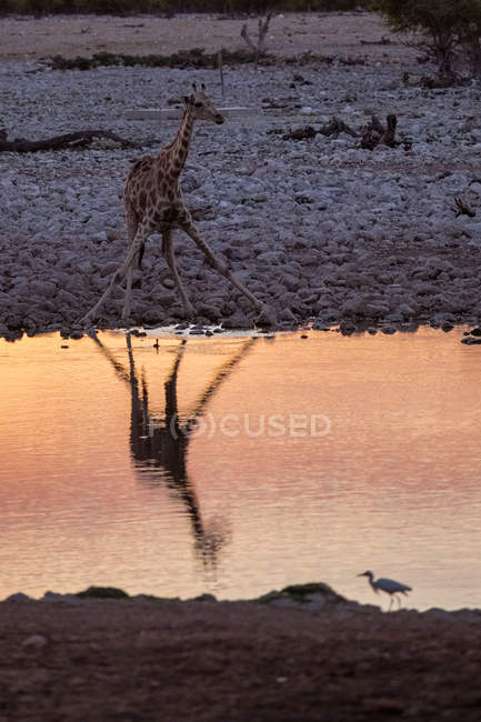 Girafa em pé no buraco d 'água, lagoa com reflexão do pôr do sol — Fotografia de Stock