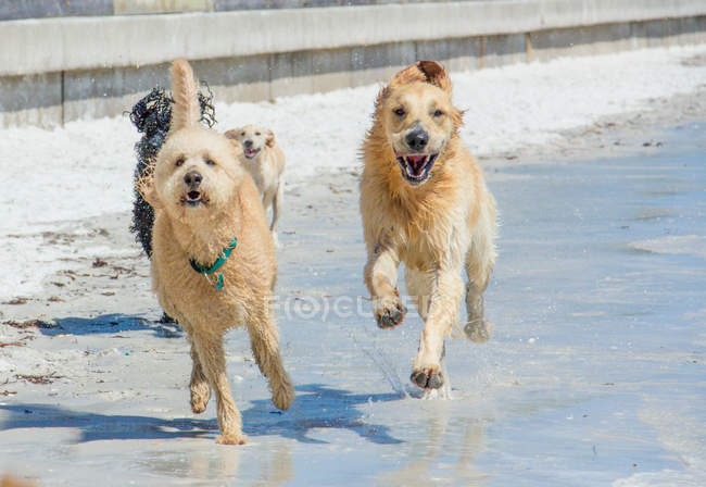 Four wet dogs running on beach — Stock Photo