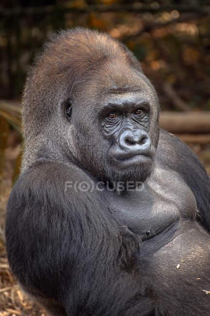 Portrait d'un gorille argenté des basses terres de l'ouest — Photo de stock