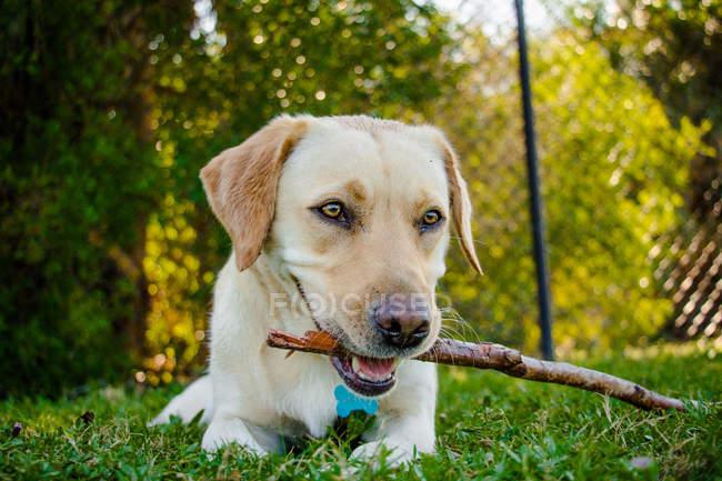 Labrador que encontra-se na grama com uma vara em sua boca — Fotografia de Stock
