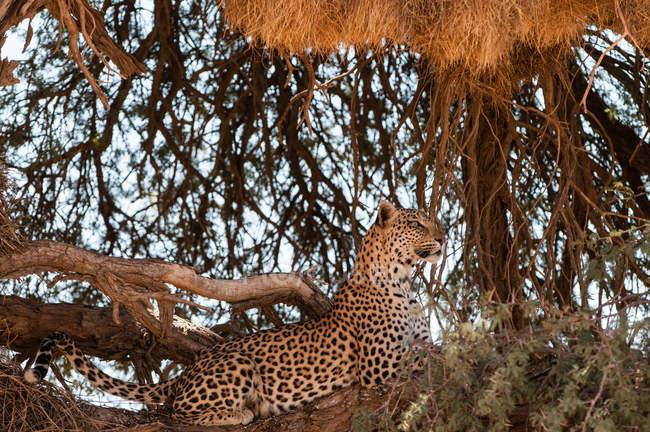 Мальовничий вид леопарда в дереві, Kgalagadi Transfrontier парку, Південна Африка — стокове фото