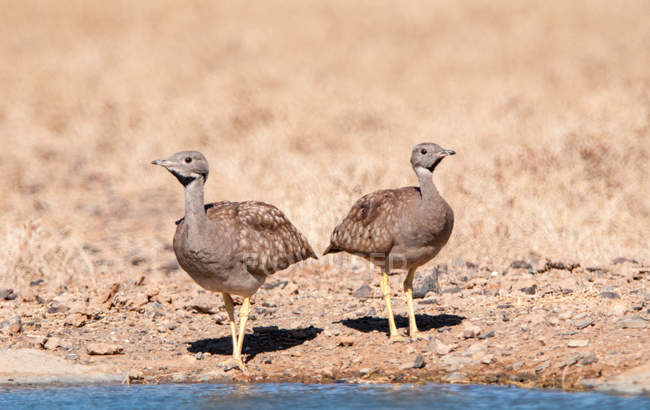 Two bustards standing by a waterhole at wild nature — Stock Photo