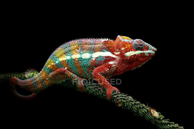 Close-up shot of beautiful colorful chameleon on black background — Stock Photo