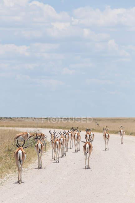 Springbok marchant le long d'une route de gravier, parc national d'Etosha, Namibie — Photo de stock