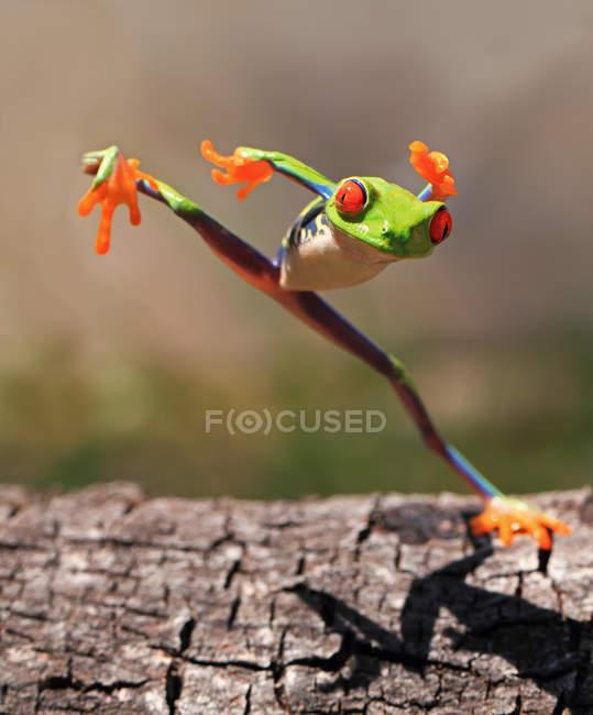 Árbol rana saltando, fondo borroso — Stock Photo