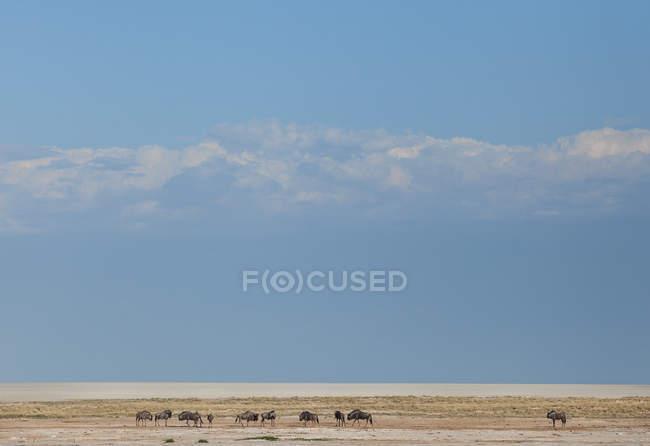 Vue panoramique sur le gnous, parc national d'Etosha, Namibie — Photo de stock