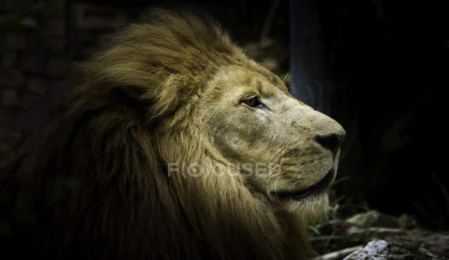 Closeup vista do focinho lindo leão — Fotografia de Stock
