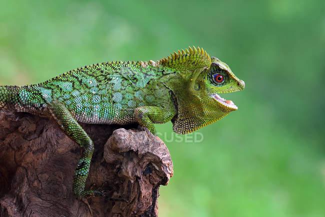 Lizard on a rock, closeup view, selective focus — Stock Photo