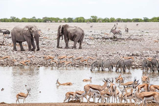 Eléphants, springbok et zèbres au bord d'un trou d'eau, parc national d'Etosha, Namibie — Photo de stock