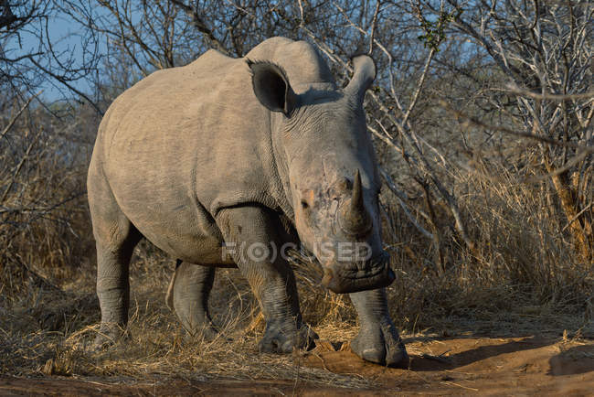 Rhino standing in the bush, Kruger National Park, Mpumalanga, South Africa — Stock Photo