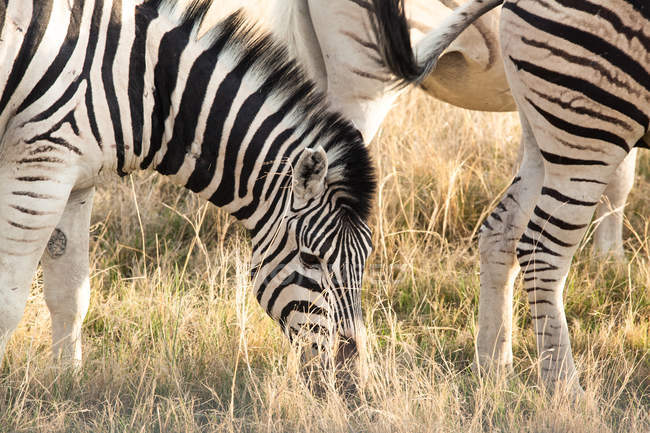 Живописный вид на Зебру, национальный парк Этоша, Нибия — стоковое фото