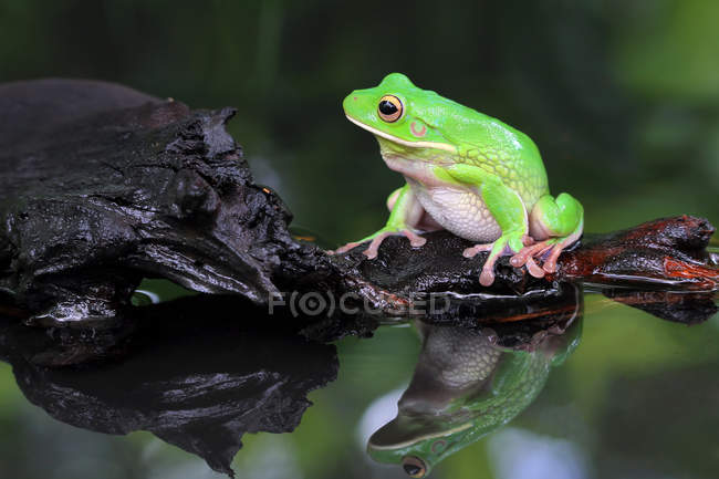 White lipped tree frog sitting on a rock by a lake, blurred background — Stock Photo