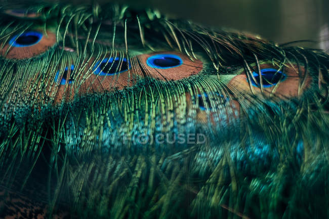 Close-up of peacock feathers, blurred background — Photo de stock