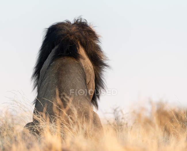 Задний вид льва, сидящего в кустах, Трансграничный парк Кгалагади, — стоковое фото