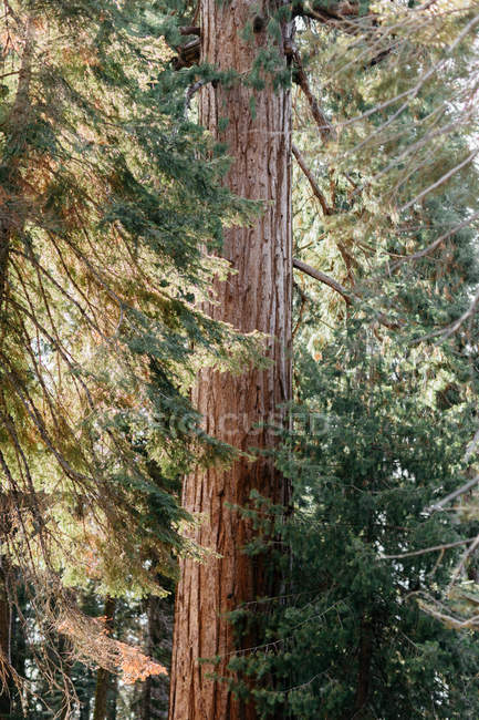 Scenic view of forest at Sequoia National Park, California, America, USA — Stock Photo