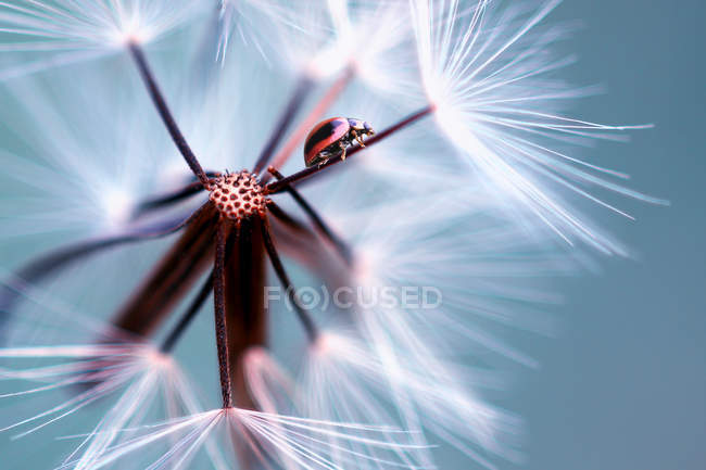 Ladybug on a flower, selective focus macro shot — Stock Photo