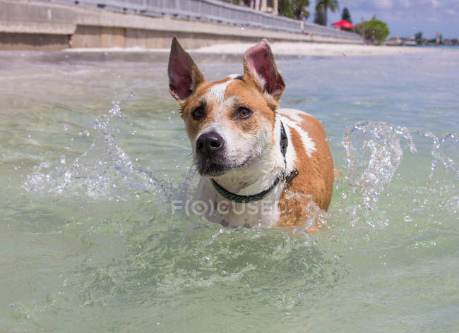 Mixed breed dog running in ocean, closeup view — стоковое фото