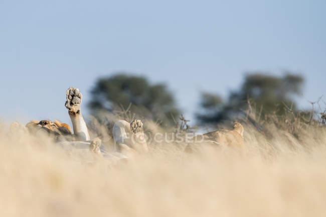 Лев, лежащий на спине в кустах, — стоковое фото