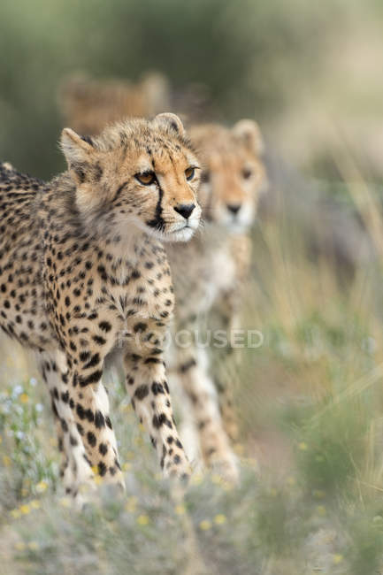 Retrato de guepardos adolescentes con un guepardo, Melkvlei, Cabo Norte, Sudáfrica - foto de stock