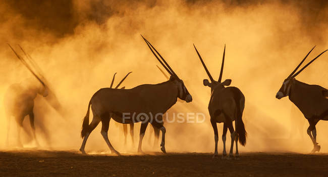 Silhouette von Oryx im Staub bei Sonnenuntergang, Südafrika — Stockfoto