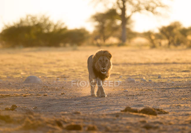 Lion marchant dans la nature sauvage, Botswana — Photo de stock