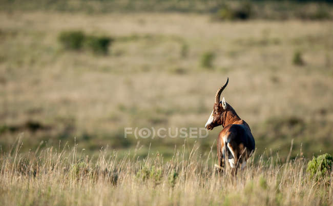 Bontebok Damaliscus pygargus standing in bush, South Africa — стокове фото