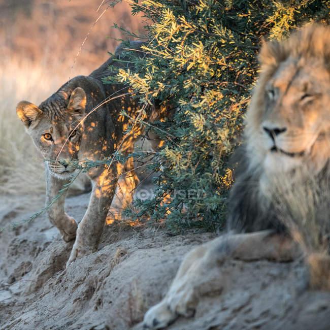 Львица приближается к льву, район Кгалагади, Ботсвана — стоковое фото