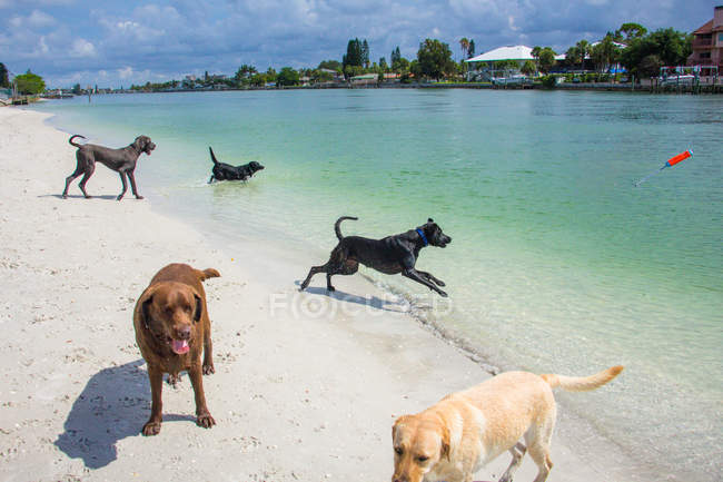 Five dogs playing on blue beach at — Stock Photo