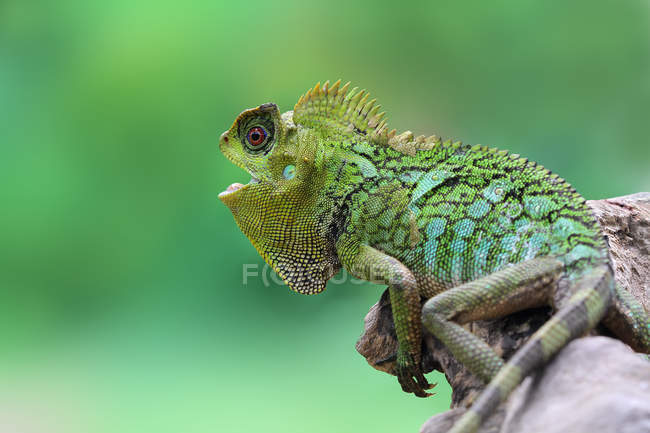 Portrait of a lizard with its mouth open, closeup view, selective focus — Stock Photo