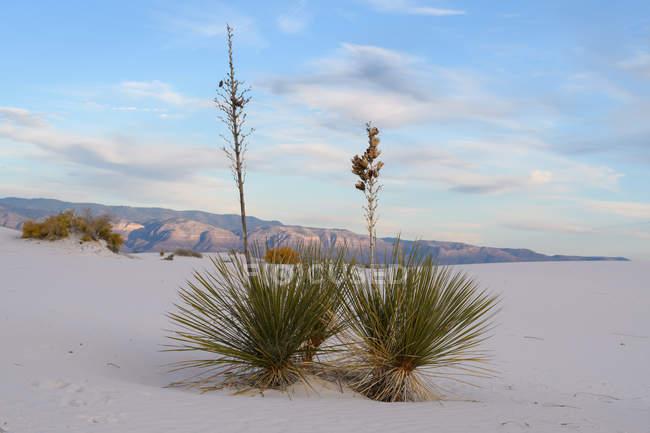 Мальовничий вид на Soaptree рослин, білі піски National Monument, Нью-Мексико, Америка, США — стокове фото