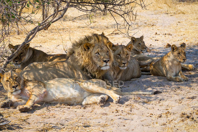 Pride of lions resting under a tree, Makgadikgadi Pans National Park, Botswana — Stock Photo