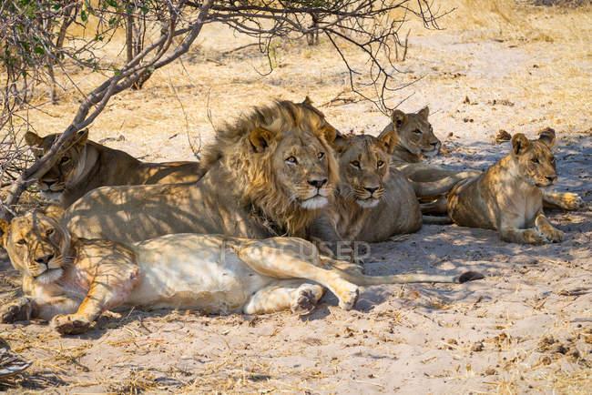 Гордость львов, отдыхающих под деревом, Национальный парк Макгадикгади Панс, Ботсвана — стоковое фото