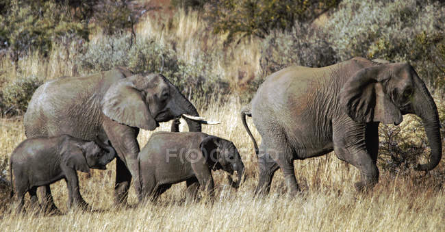 Herd of elephants with elephant calves, South Africa — Stock Photo