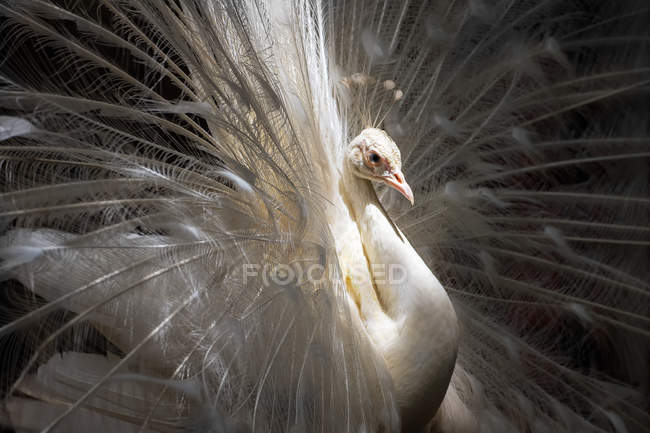 Closeup portrait of a beautiful white peacock — Stock Photo