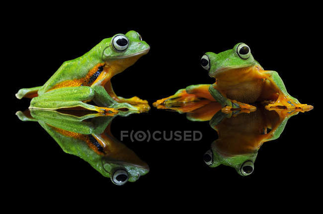 Portrait of two flying frogs, reflecting in water — Stock Photo