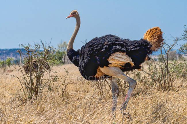 Retrato de uma avestruz, Parque Nacional de Kruger, Mpumalanga, África do Sul — Fotografia de Stock