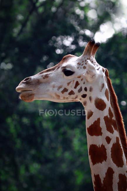 Крупный план головы жирафа, Индонезия — стоковое фото