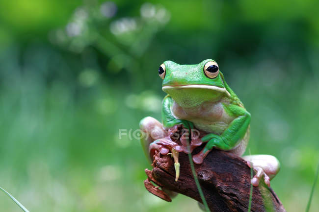 White lipped tree frog on a branch, blurred background — Stock Photo