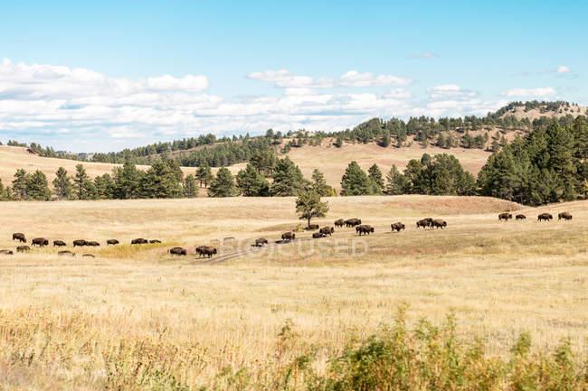 Vista panorámica de la manada de búfalos en hierba, Dakota del Sur, América, EE.UU. - foto de stock