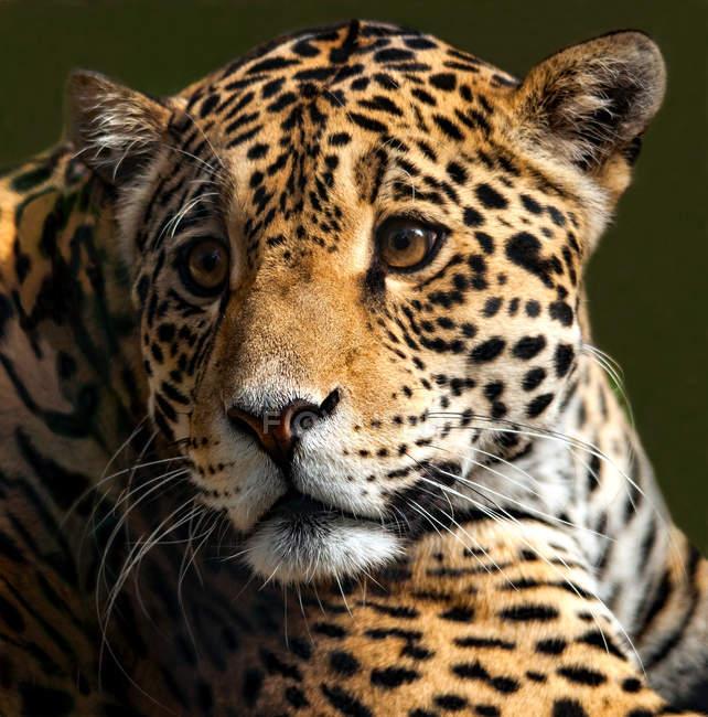 Porträt eines Leoparden vor verschwommenem Hintergrund — Stockfoto