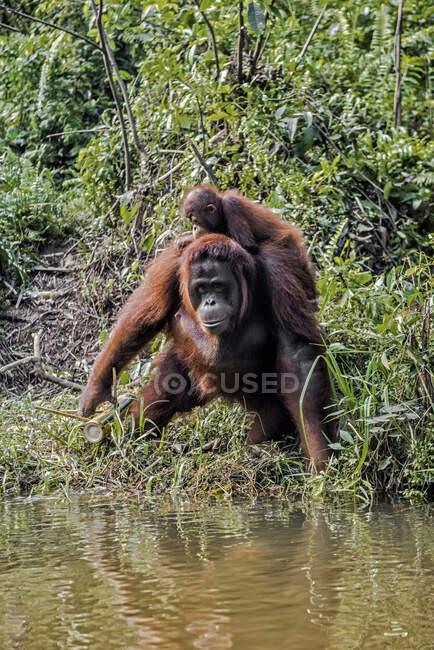 Orangután femenino junto a una ribera que lleva a su bebé, Borneo, Indonesia - foto de stock
