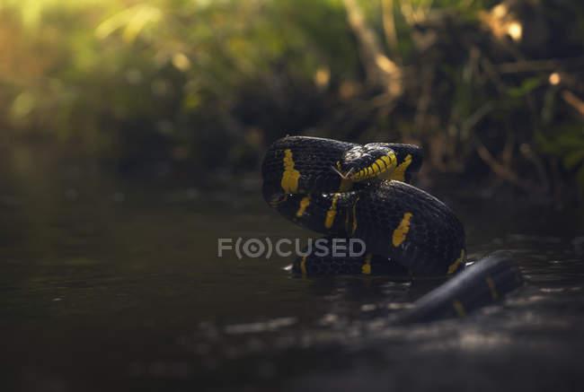 Serpente gatto mangrovia in un fiume, attenzione selettiva — Foto stock